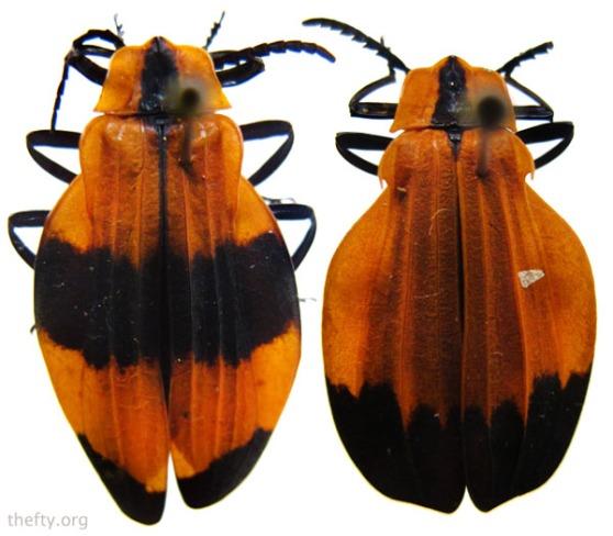 Helena-Maratheftis-beetle-pattern3