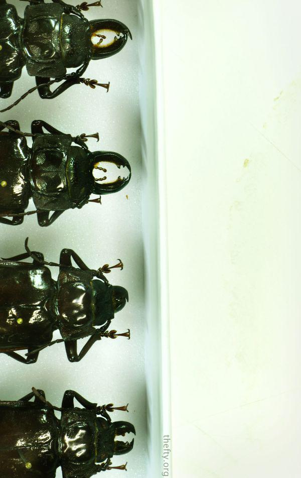 Helena-Maratheftis-coleoptera-beetles-02
