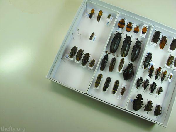 Helena-Maratheftis-coleoptera-beetles-03
