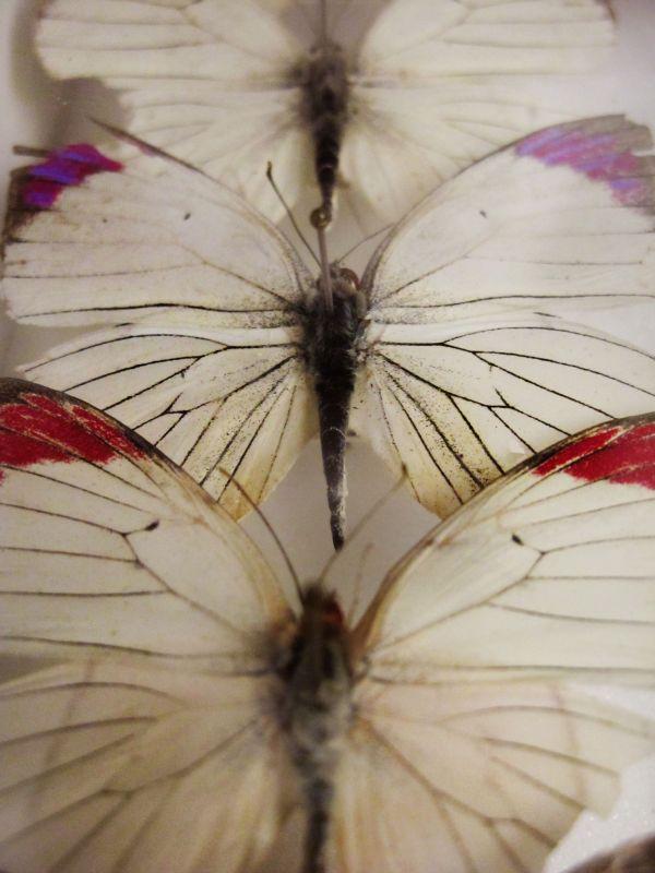 Helena-Maratheftis-butterflies-tanzania-06