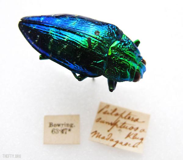 Helena-Maratheftis-Madagascar-beetle