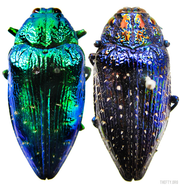 Helena-Maratheftis-Madagascar-beetles-1