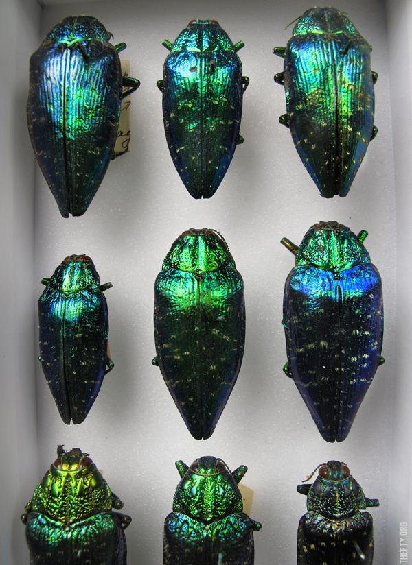 Helena-Maratheftis-Madagascar-beetles-2