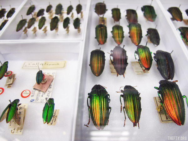 Helena-Maratheftis-Madagascar-beetles-4