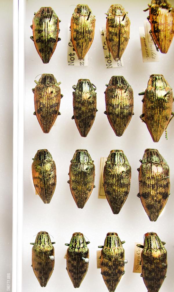 Helena-Maratheftis-Madagascar-beetles-6