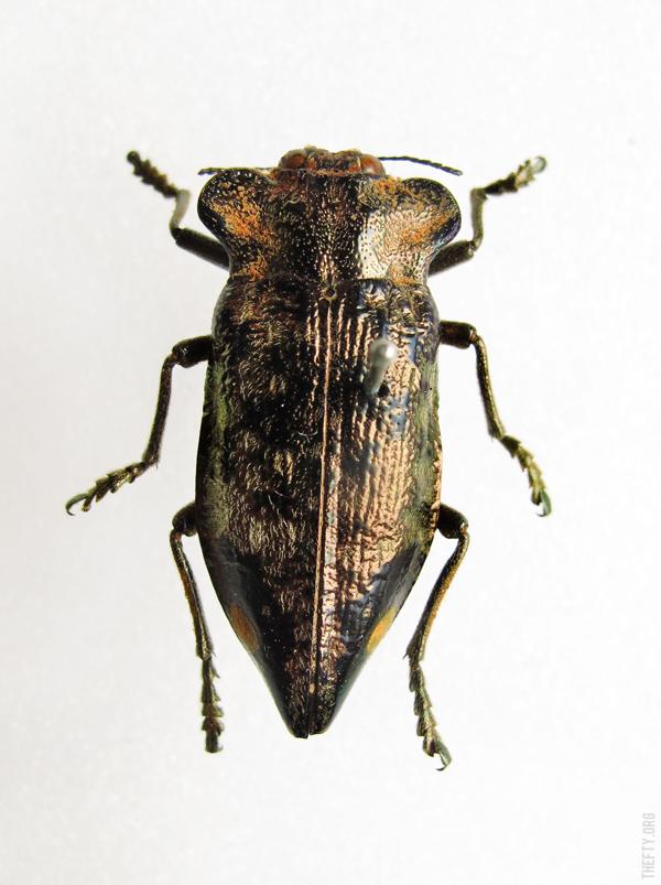 Helena-Maratheftis-Madagascar-beetles-7