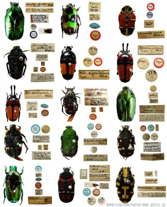 Helena Maratheftis Wallace beetles NHM small. beetles   THEFTY